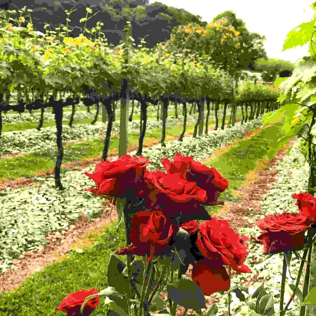 O melhor Tour Uva e Vinho em Gramado